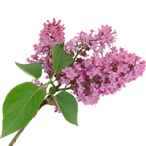 Giới thiệu về cây đinh hương
