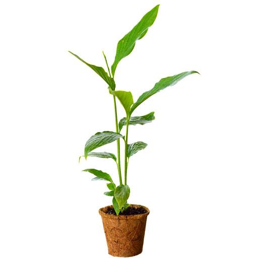 Giới thiệu về cây thảo quả